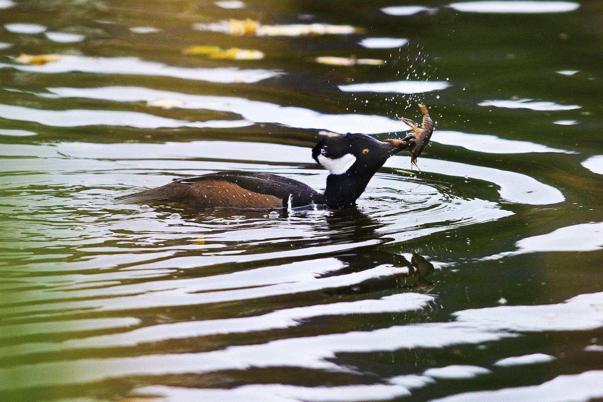 A male hooded merganser surfaces from a dive in Lake Andrews with a crayfish in its bill before losing it's catch to a pestering seagull on October 22, 2019.