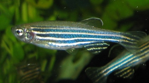 The freshwater zebrafish are valuable research specimens because they share a number of genes with humans.