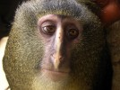 Detwiler '95 plays key role in confirming new African monkey species