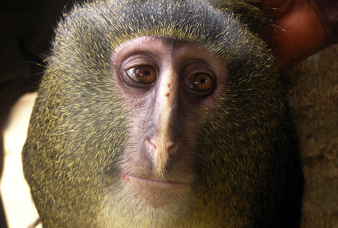 A captive adult male Cercopithecus lomamiensis. Photograph by  Maurice Emetshu.