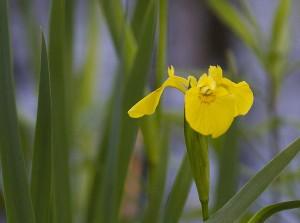 IMG_1010-daffodill