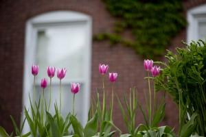 Tulips bloom outside of historic Hathorn Hall. (Phyllis Graber Jensen/Bates College)