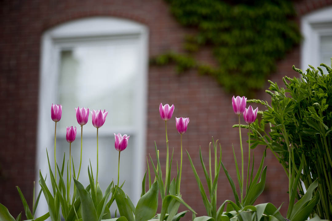 Tulips bloom outside of historic Hathorn Hall. (Phyllis Graber Jensen/Bates College)