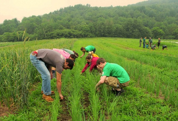 There's always weeding to do. (Megan Lubetkin '16/Vermont Youth Conservation Corps)