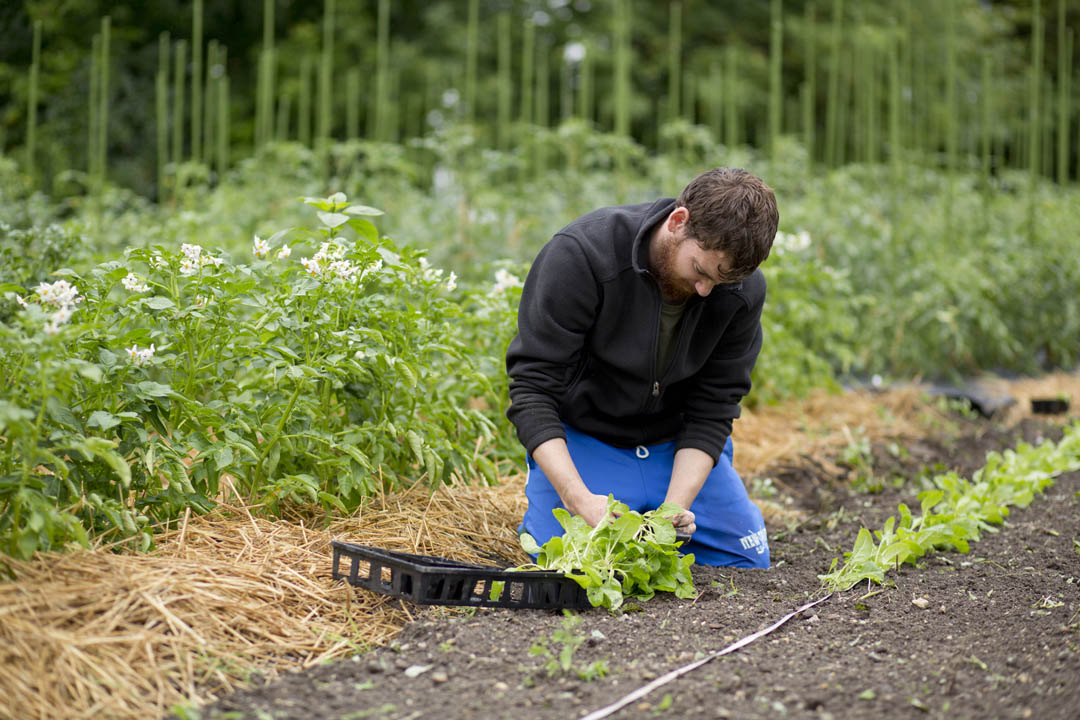Owen Hemming '15 works in the Bates garden on College Street on July 23, 2013. Hemming works with Facility Services to grow vegetables including tomatoes, potatoes, and cucumbers for use in Commons. (Mike Bradley/Bates College)