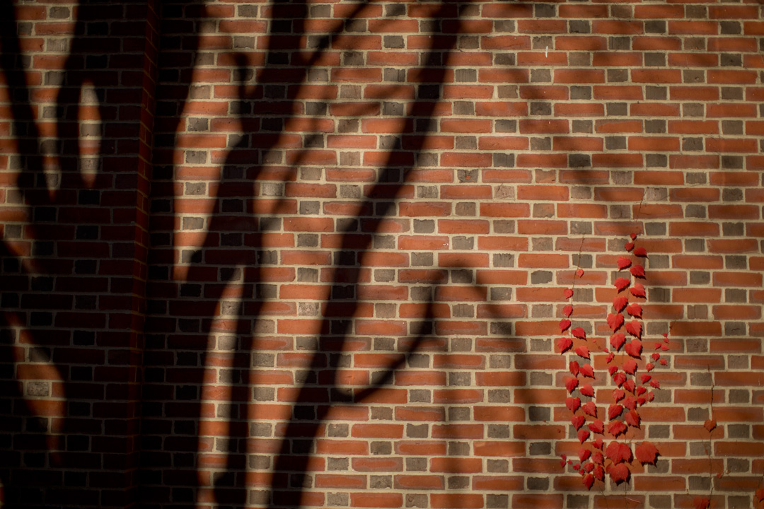 The shadow of a tree meets some fall foliage on the brick exterior of Chase Hall. (Phyllis Graber Jensen/Bates College)