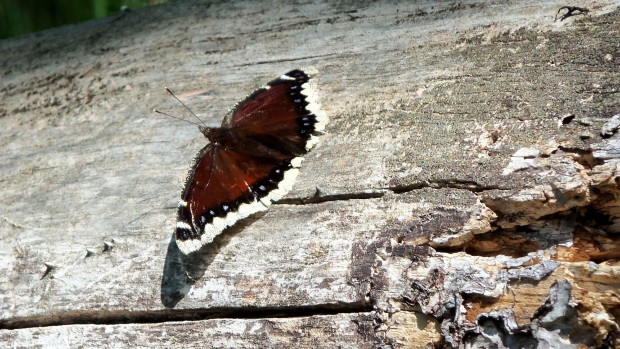 Mourning cloak butterfly. (CC license: Jamie Jones / USFWS)