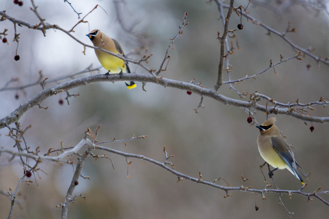 Two cedar waxwings do their thing: munching on berries in a tree on Nichols Street. (Sarah Crosby/Bates College)