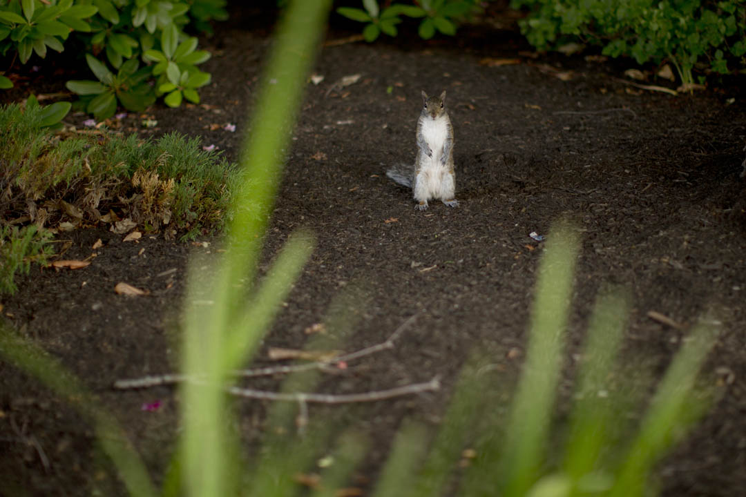 Standing at attention, a squirrel observes a passerby as it scours the exteriors of Ladd Library and Chase Hall for food. (Phyllis Graber Jensen/Bates College)