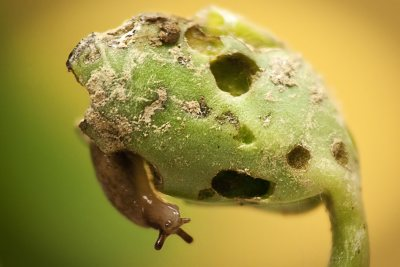 A slug munches on a soybean seedling. (Nick Sloff/Penn State)