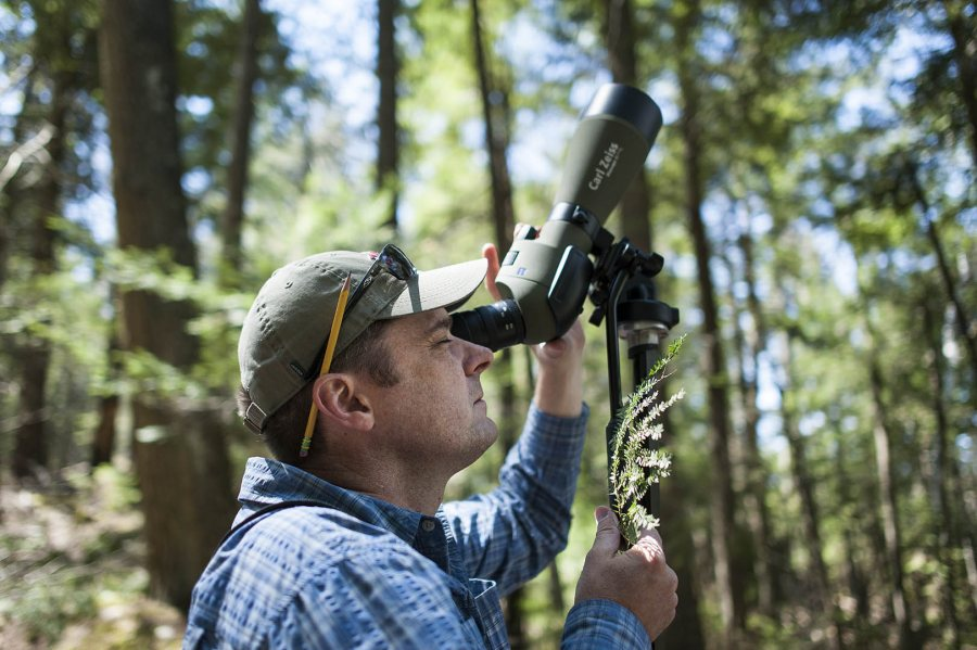 Holding a branch infested with woolly adeljid, Brett Huggett looks through the telescope at Bates–Morse Mountain on May 15. (Josh Kuckens/Bates College)