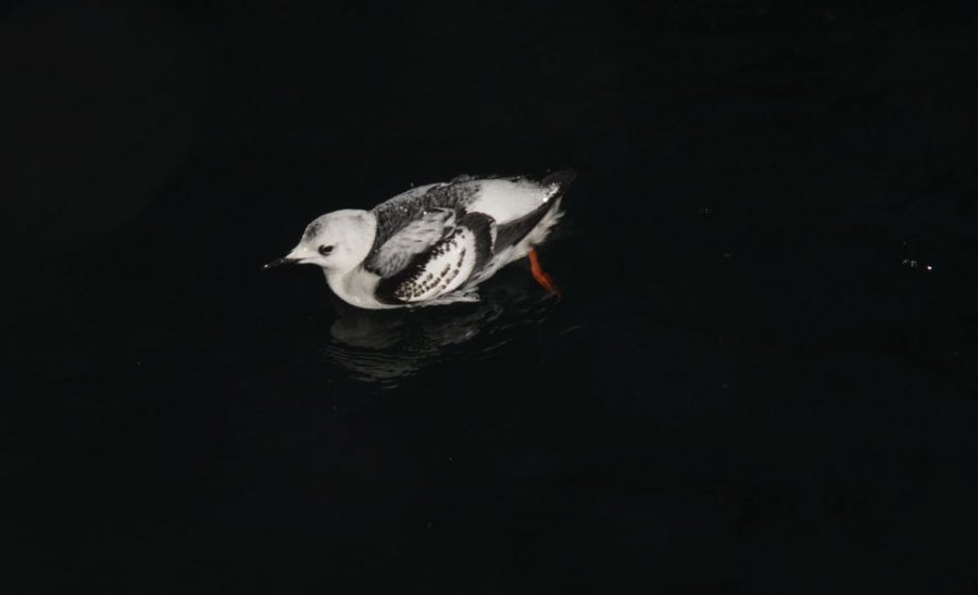 "Bird species, like this black guillemot, were observed foraging for food in complete darkness. That activity, the researchers say, raises a question: How do species known to be ""visual predators other times of the year"" can ""find their prey during the polar night""? (Geir Johnsen NTNU/UNIS)"