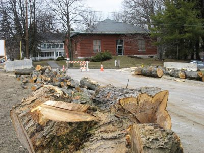 You may see this maple again someday. (Doug Hubley/Bates College)