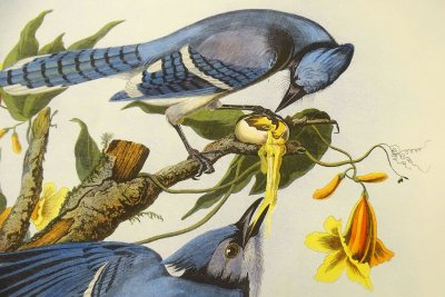 "This detail of the bluejay plate from The Birds of America  shows what Audubon called the  ""rogues"" and ""deceivers"" of the bird world."