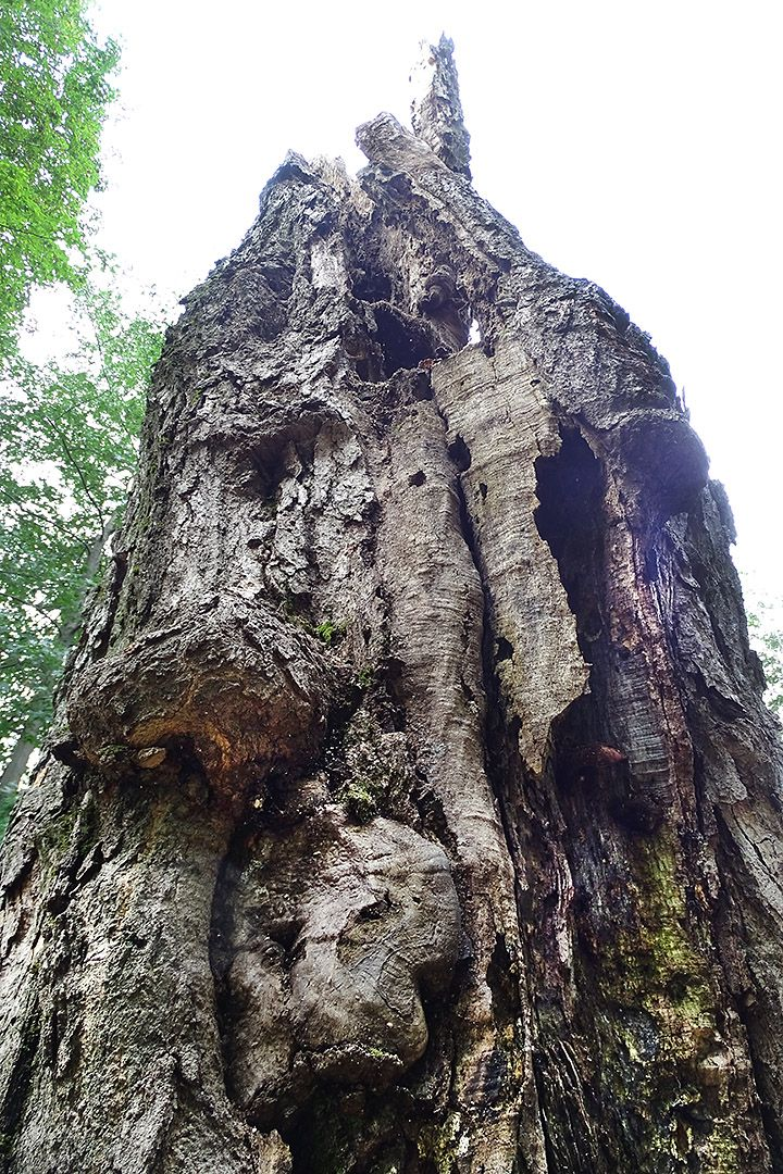 "The sugar maple's craggy ""hobbit-ness"" was due to a fungus, probably infected the northern tooth fungus, said Assistant Professor of Biology Brett Huggett. (Jay Burns / Bates College)"