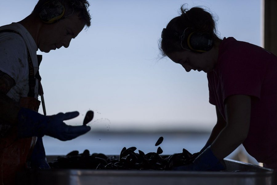Cleaned mussels are subjected to one last sorting by crew members Kirstina Littig and Daniel Dunham before being placed on ice.