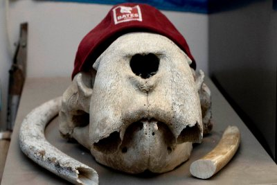 Professor of Geology Mike Retelle found the walrus skull while doing research in the Canadian High Arctic in 1993. (Phyllis Graber Jensen/Bates College)