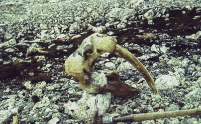 Mike Retelle's 1993 photograph of the walrus skull as he found it in the Canadian Arctic.