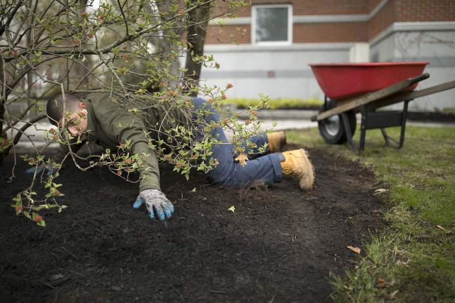 Diego Marcogliese '17 of Los Angeles stretches himself to spread mulch near Carnegie Science Hall. (Phyllis Graber Jensen/Bates College)