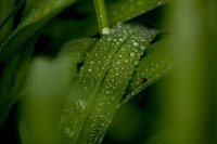 Bates is a green campus. A plant glistens after a late spring shower. (Phyllis Graber Jensen/Bates College)