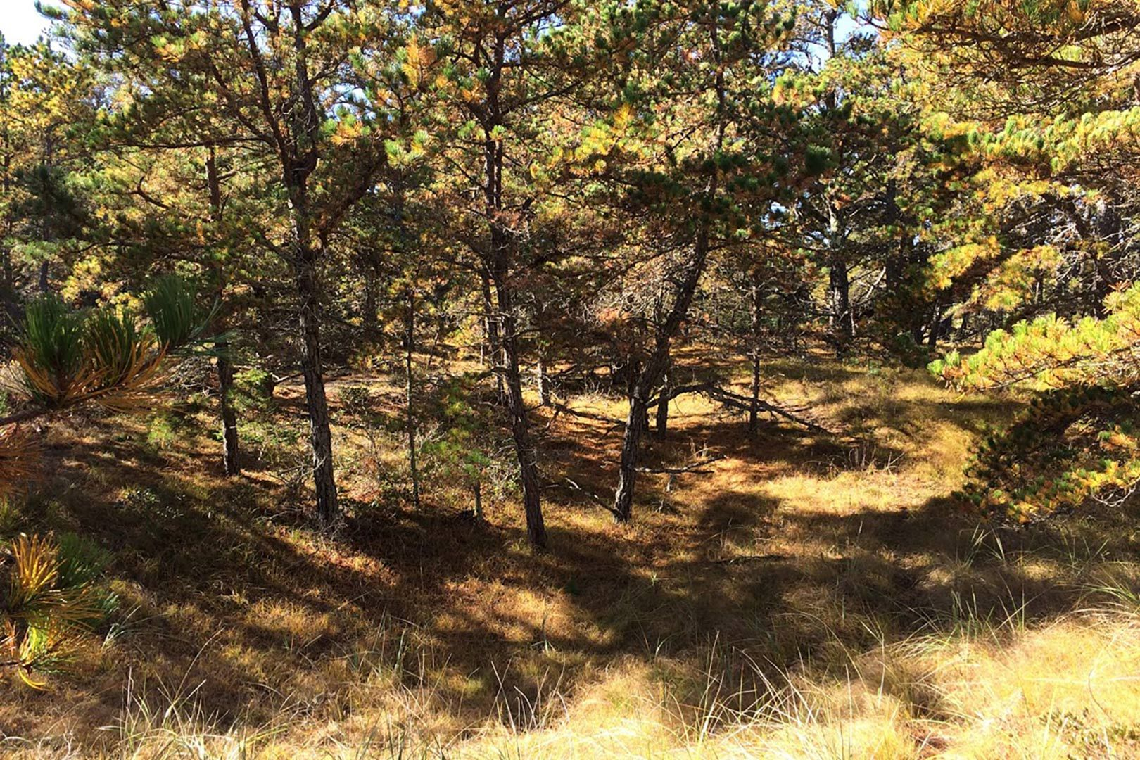 This pitch pine dune woodland at Bates—Morse Mountain is a globally rare ecosystem and possesses a rare beauty, as well. (Laura Sewall/Bates College)