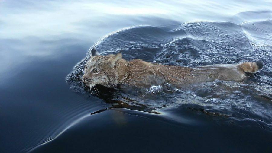 Last weekend was hot enough to send a Bobcat into the lake. (u/Portlande)