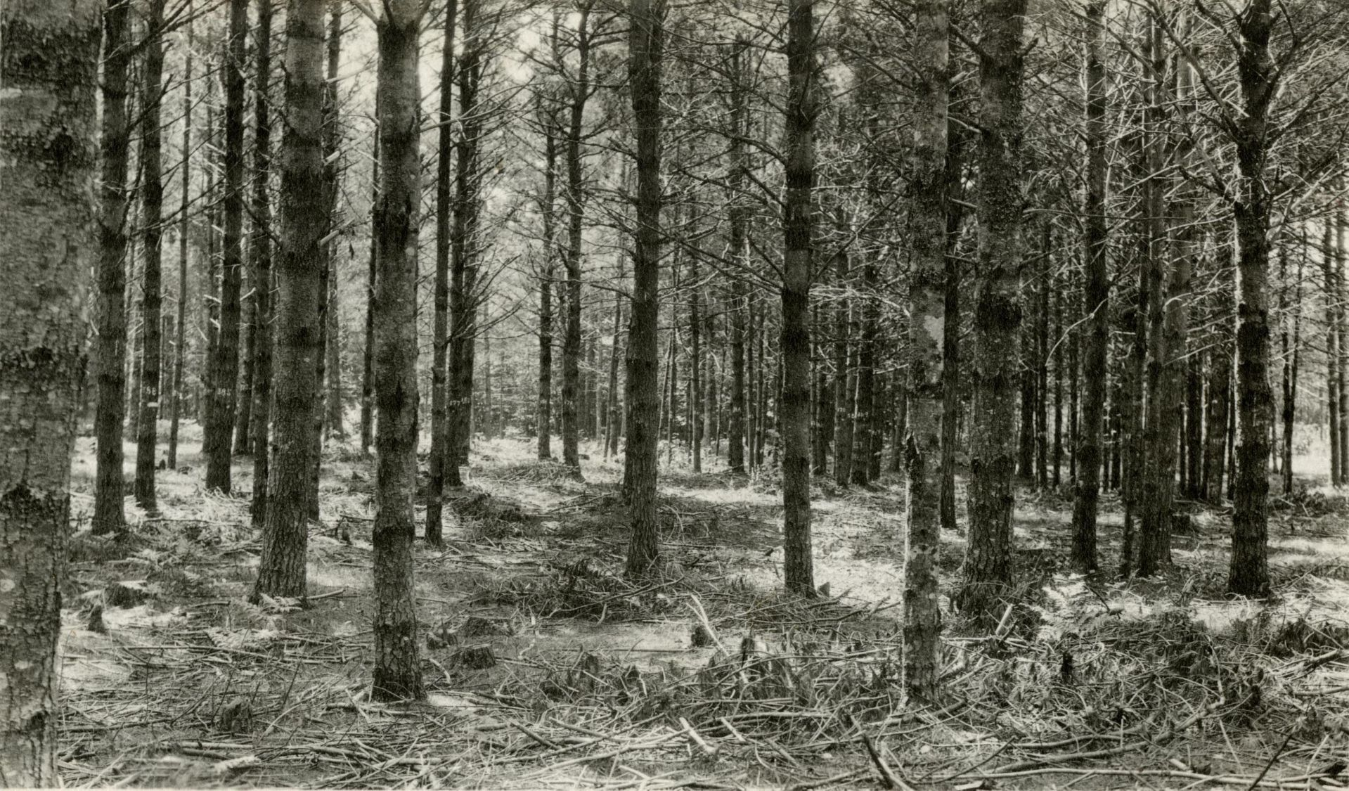 A thinned stand of white pine at the Bates Forest circa 1932. (Muskie Archives and Special Collections Library