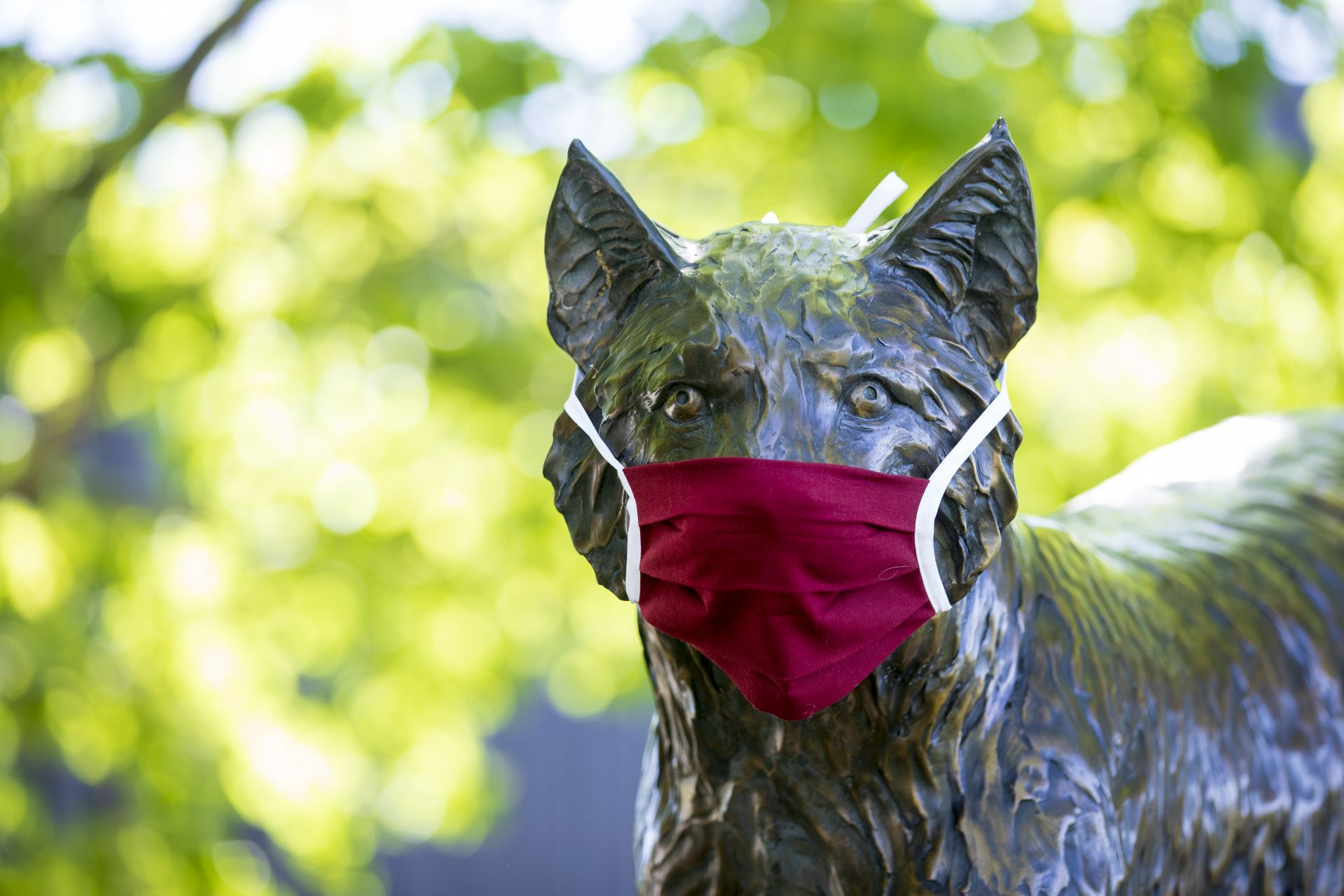 Scenes from the Bates Campus on Commencement Day, May 31, 2020. The bobcat statue on the walk to Merrill Gym is outfitted with a coronavirus mask made by Christine McDowell's crew in Pettigrew Hall.