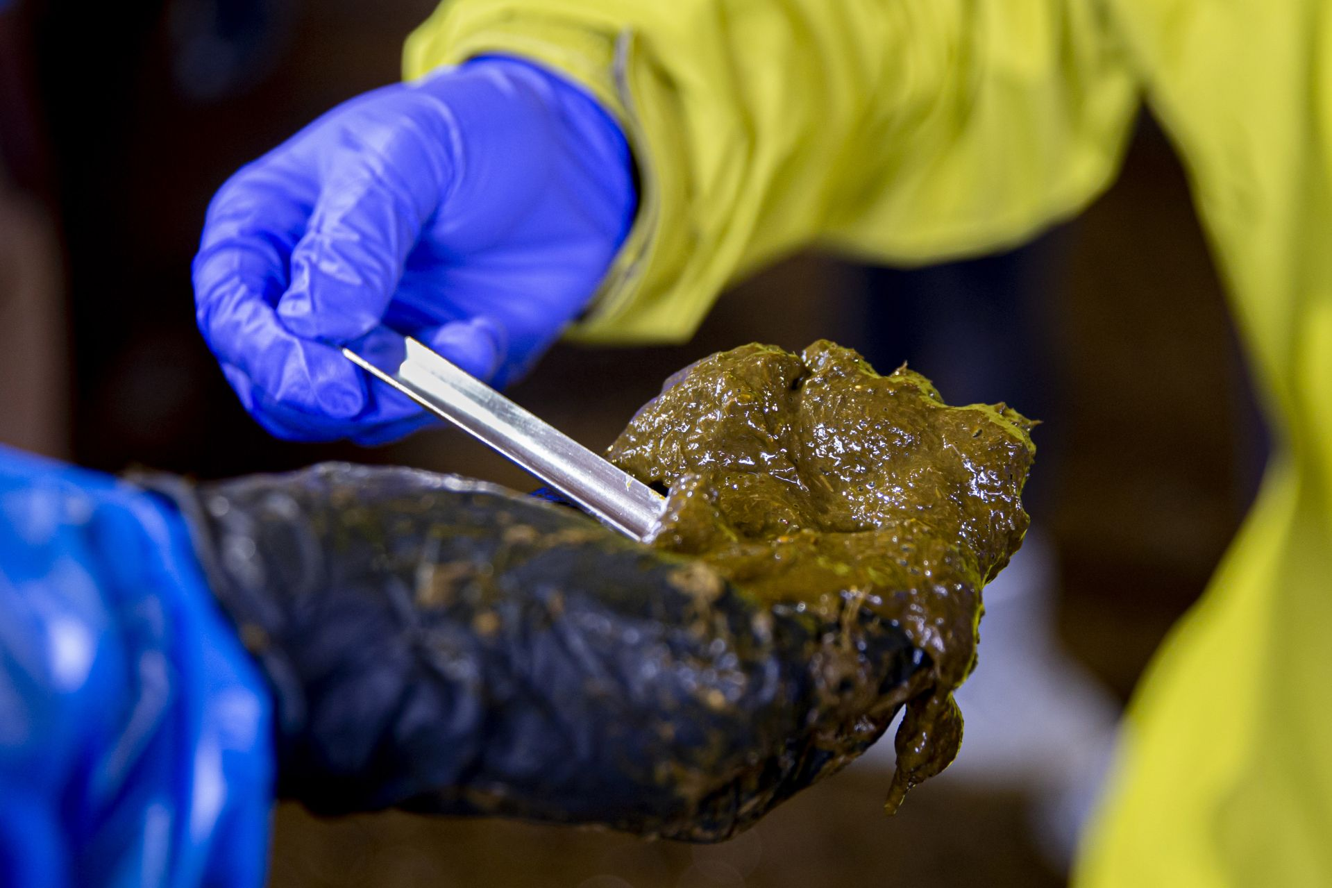 After fecal matter is taken from the cow's rectum, a steel laboratory scoop is used to select a portion for sampling. (Phyllis Graber Jensen/Bates College)